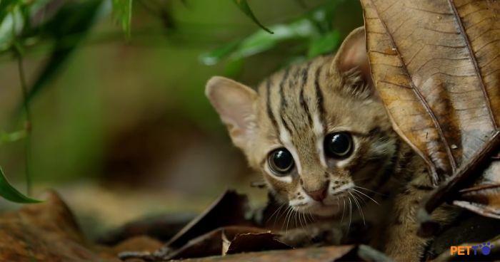 GIỐNG MÈO NHỎ NHẤT HÀNH TINH CHỈ NẶNG KHOẢNG 1,6KG - MÈO ĐỐM GỈ (RUSTY SPOTTED CAT) 2