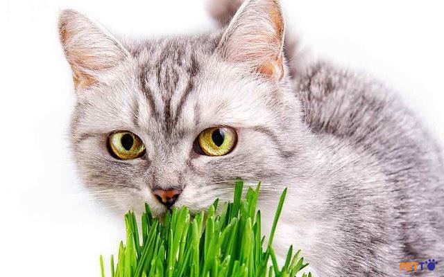 Cỏ mèo là gì? Những điều bạn cần biết về cỏ mèo