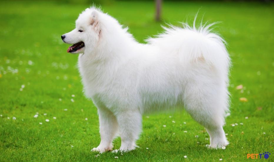 Chó  Samoyed có nguồn gốc từ Siberia