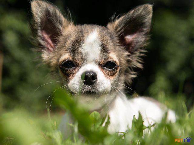 Vẻ ngoài đáng yêu của Chihuahua