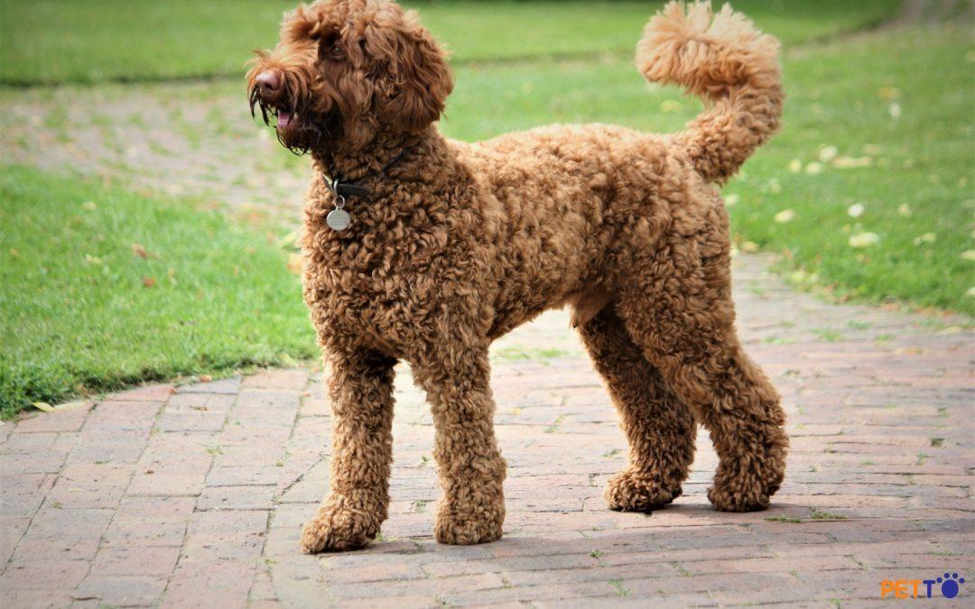 """Chó  Poodle nhỏ nhắn và xinh đẹp giống một viên """"socola"""""""