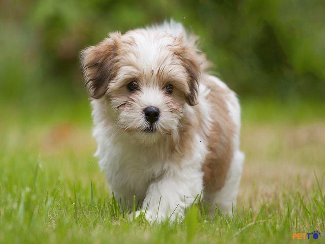 chó Havanese cũng nằm trong top giống chó đẹp nhất thế giới