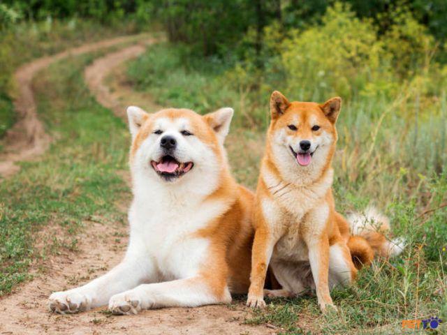 Akita Inu là giống chó đẹp và đáng yêu