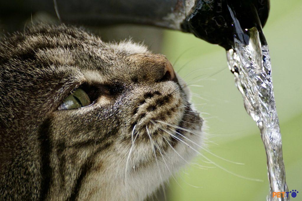 Chuyện gì sẽ xảy ra nếu mèo không uống đủ nước?
