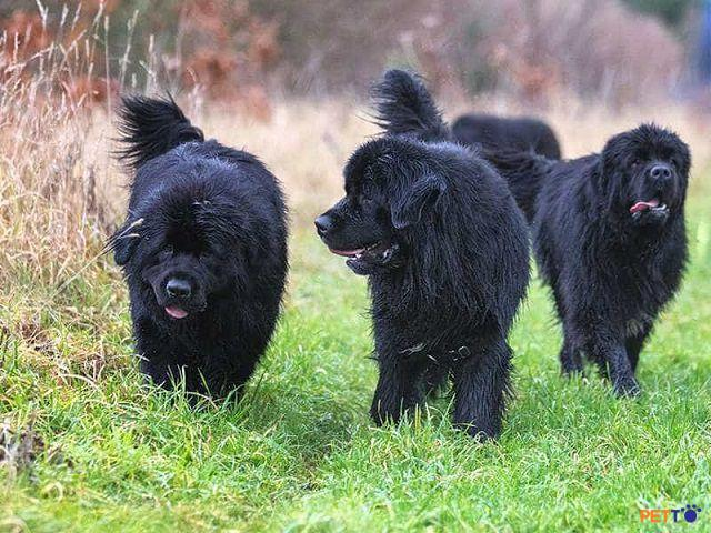 Newfoundland là 1 trong top 10 giống chó to nhất thế giới