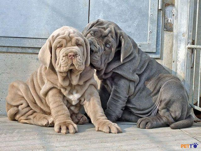 Giống chó mặt phệ Neapolitan Mastiff