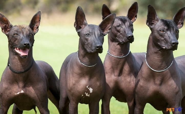 đặc điểm giống chó Xoloitzcuintli