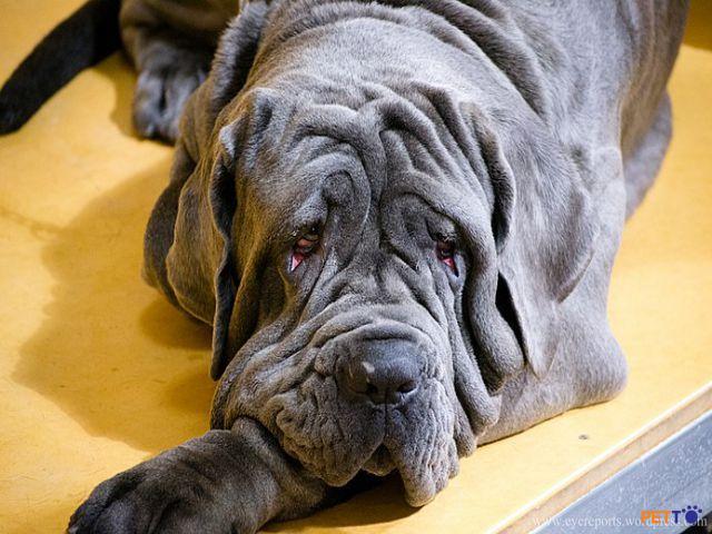 Neapolitan Mastiff có bộ da dày và lỏng lẻo
