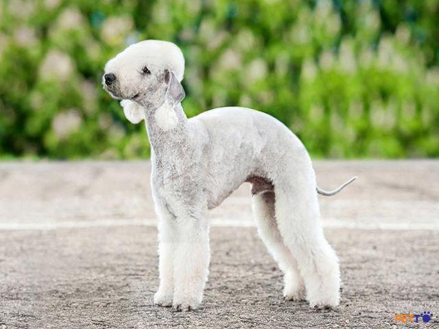 Chó Bedlington có ngoại hình giống một con cừu