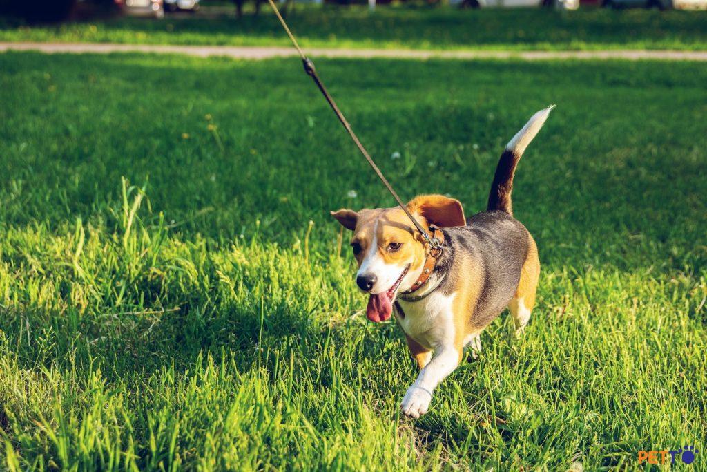 Có nên dùng dây dắt chó tự động?