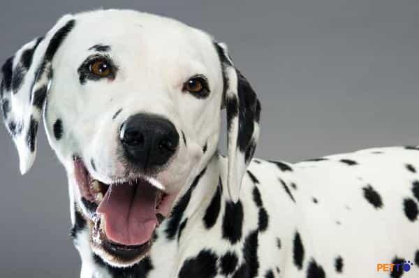 Chó Đốm Croatia sở hữu bộ lông siêu ngắn