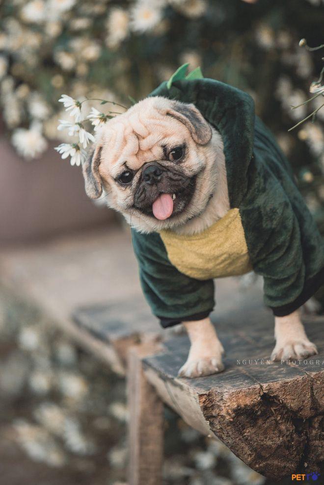 Chó Pug cute