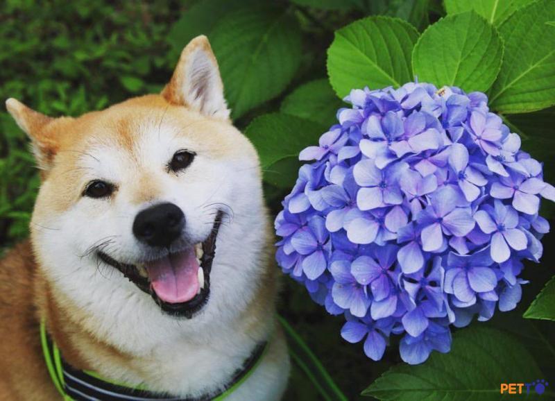 Shiba là một trong những giống chó nổi tiếng với khuôn mặt hạnh phúc