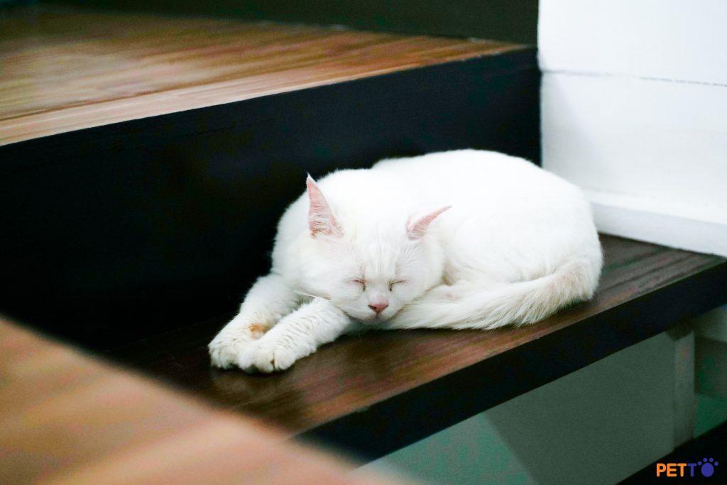 Bệnh giả vờ của mèo