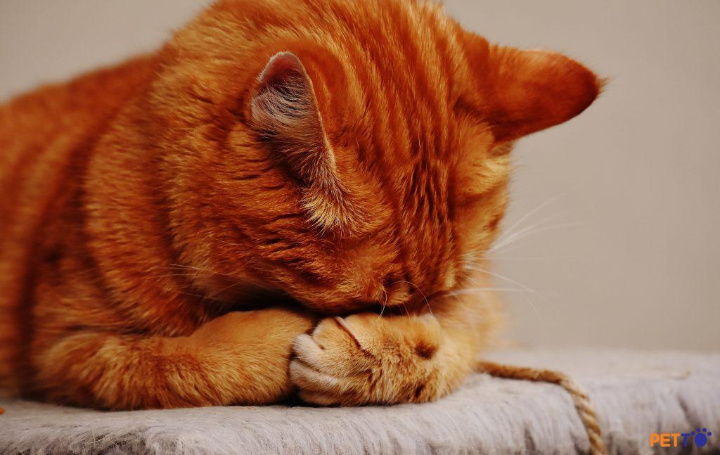 Làm sao để phân biệt mèo bệnh thật và giả vờ bệnh