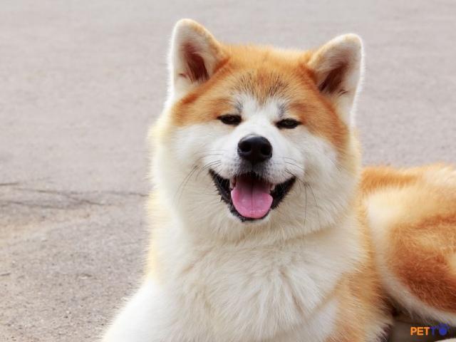 Chó Akita Inu sở hữu vẻ bề ngoài đáng yêu