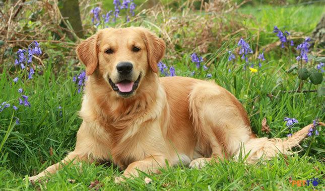 Chó Golden Retriever chiếm 1 slot trong Top 10 giống chó đáng yêu nhất thế giới.