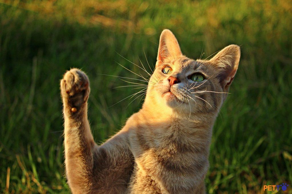 Mèo đấm/vả vì khó chịu hoặc bực bội