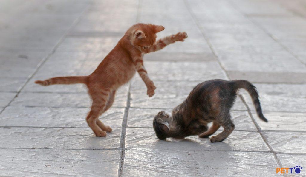 Mèo đấm để tấn công