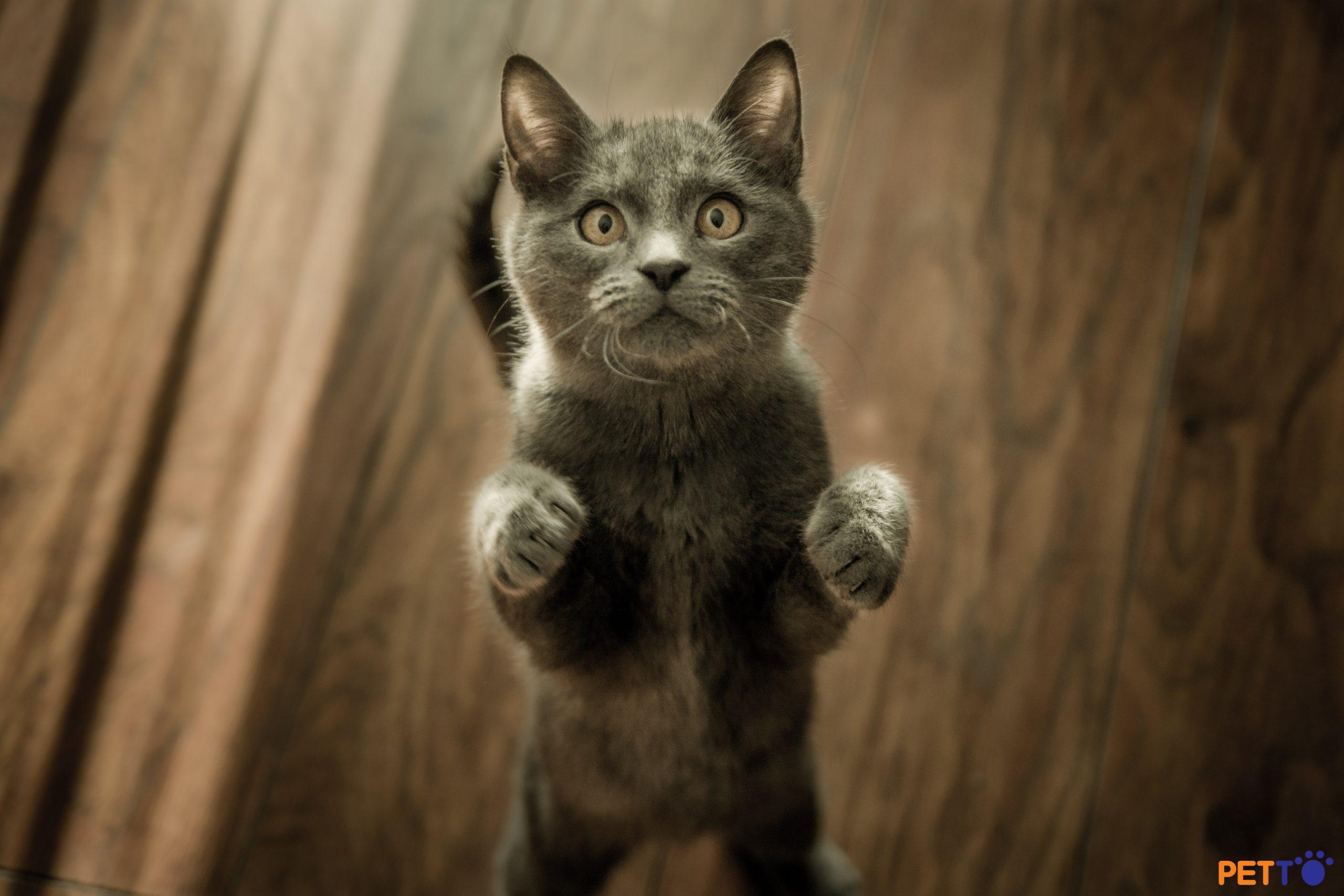 Tại sao mèo lại đấm (vả)