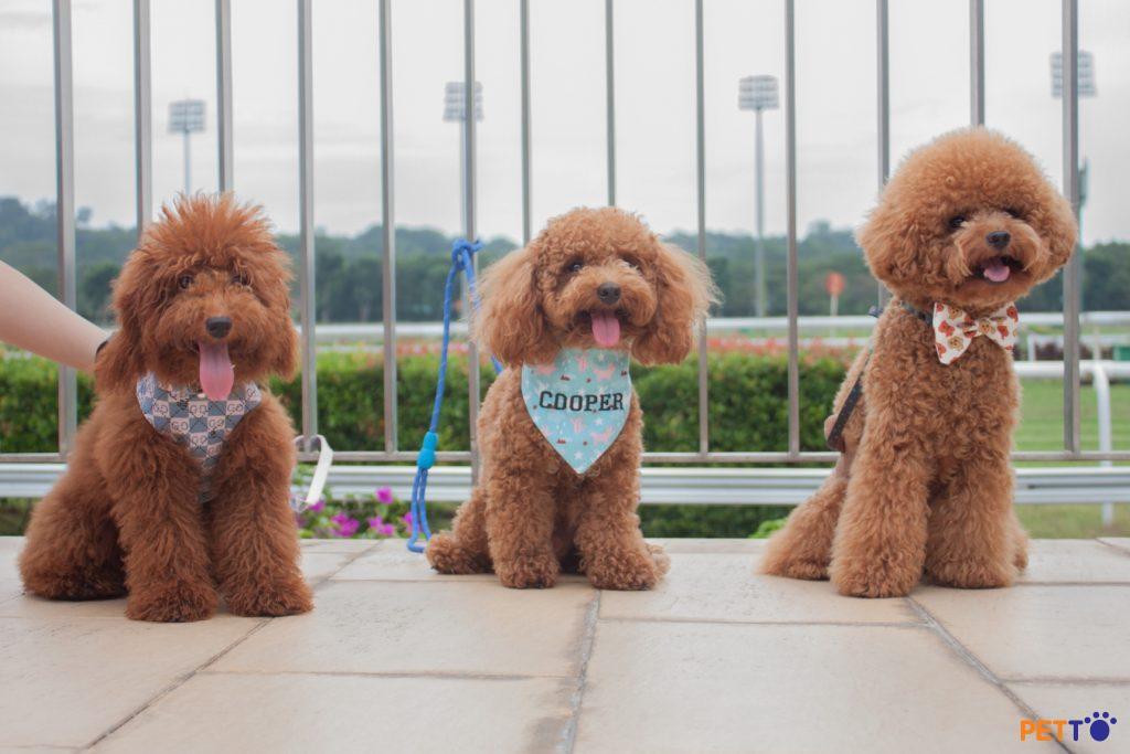 nguồn gốc chó poodle hay chó săn vịt vuonpet.com