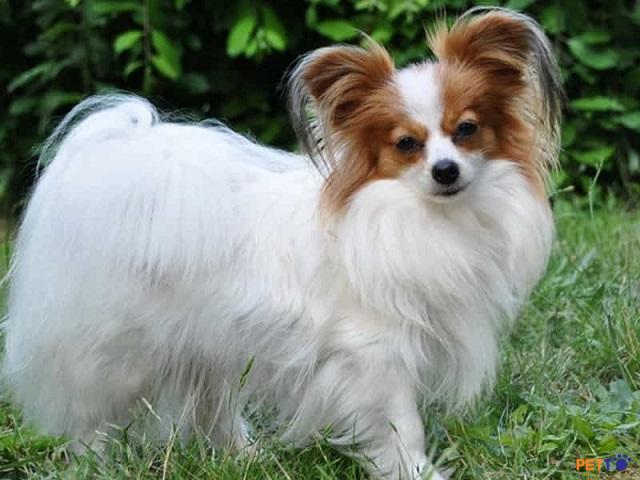 Top 10 giống chó dễ huấn luyện nhất thế giới ai cũng yêu thích