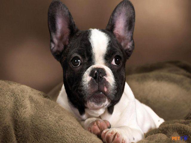 French Bulldog rất lanh lợi và hoạt bát