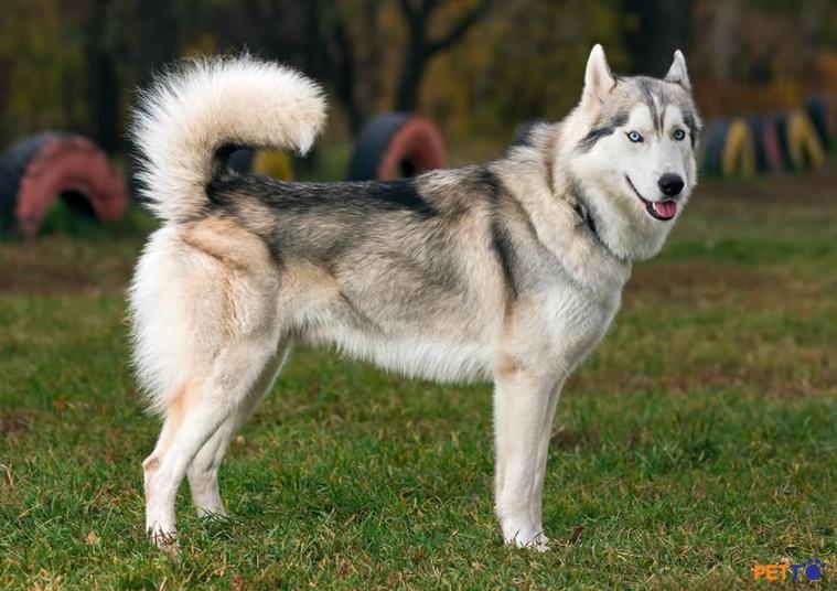 chó husky được nuôi nhiều tại việt nam