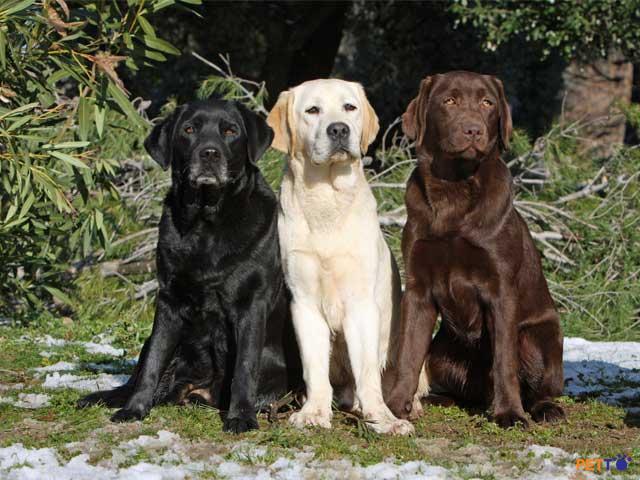 Giống chó thông minh nhất thế giới - Labrador Retriever