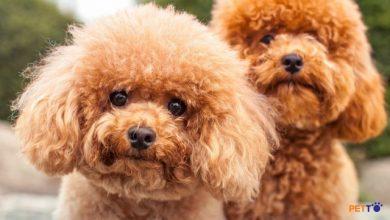 Poodle có mặt trong top 10 giống chó được yêu thích nhất thế giới
