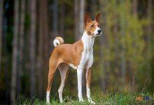 Chó Basenji Trung Phi ít sủa và ít rụng lông