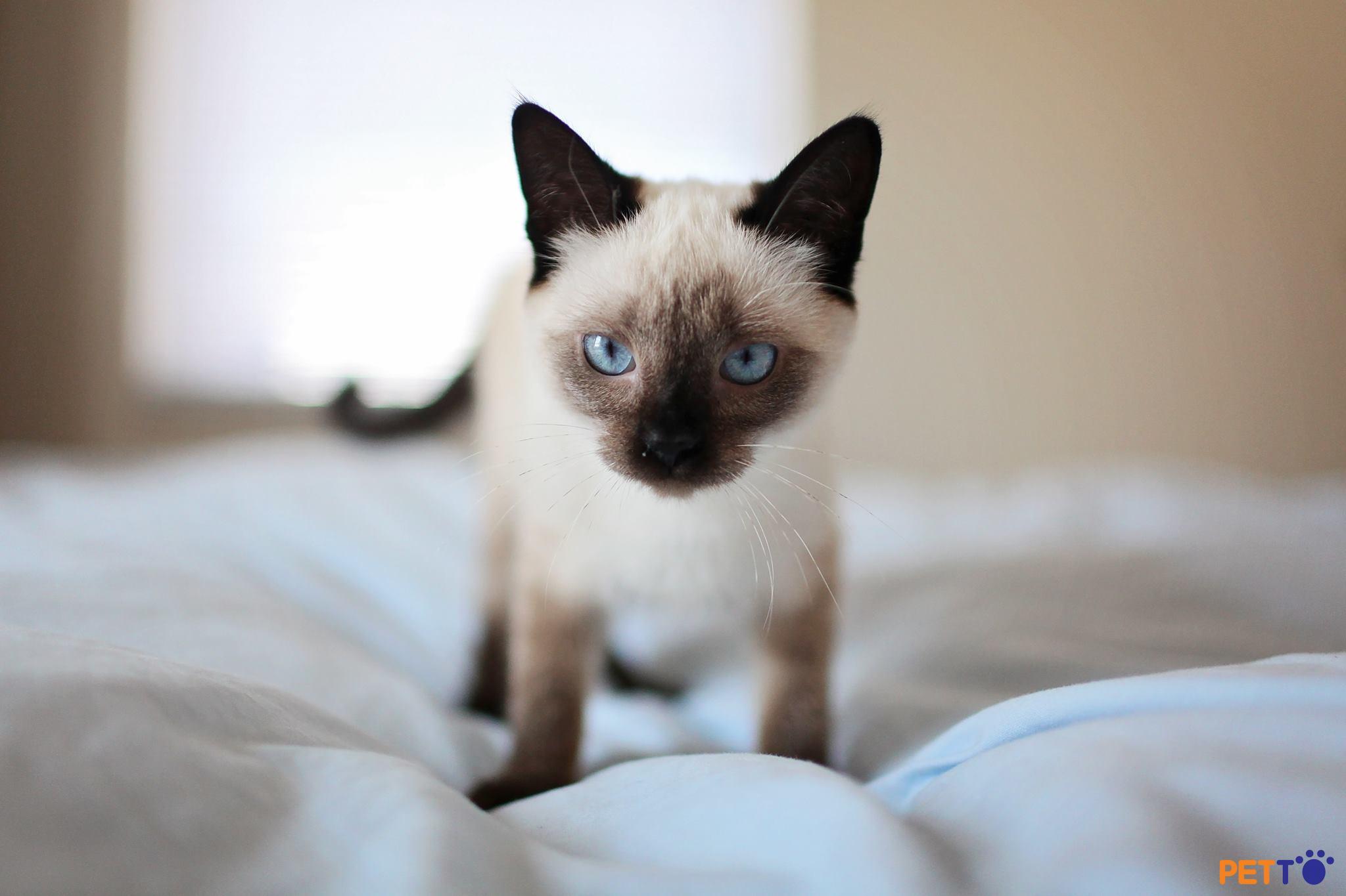 mèo con xiêm