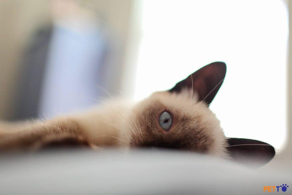 Mèo Xiêm hiện đại có đôi tai lớn, hình tam giác, đặt xa nhau và đôi mắt xanh hơi xếch