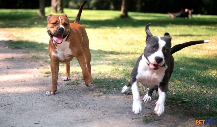 mua chó pitbull ở đâu an toàn uy tín