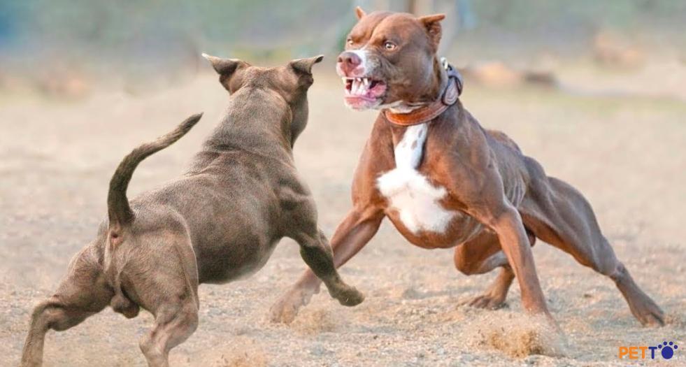 Khung xương hàm của giống chó Bull cực khỏe, chắc, nhọn.