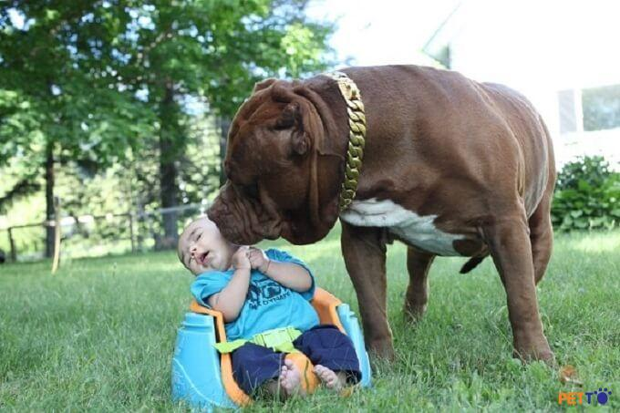 Pitbull hoàn toàn hiền lành nếu được yêu thương và dạy dỗ chu đáo.