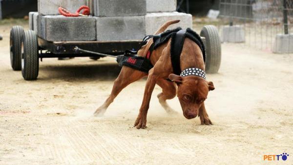 Pitbull vốn dĩ thông minh có thừa nên việc dạy cho nó hiểu biết thực sự khá dễ và ít tốn thời gian