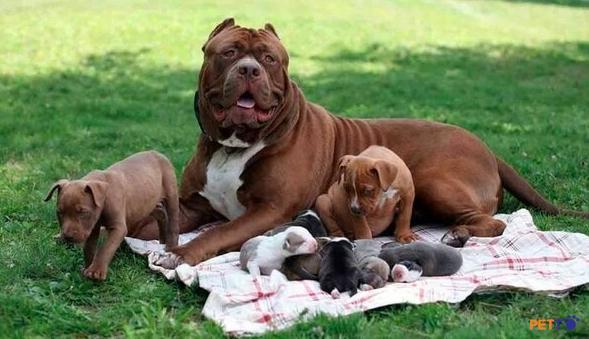 Chó pitbull được tạo ra để đưa vào phục vụ các cuộc chiến ở thế kỷ 19