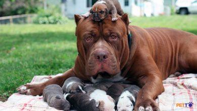 nhiều mức giá của chó pitbull trên thị trường