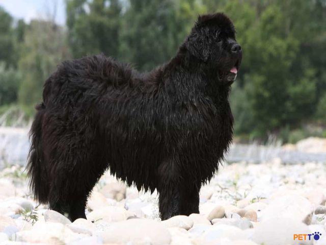 Newfoundlandcó một thân hình to lớn với bộ lông dày và xù