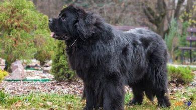 Chó Newfoundland Toàn Bộ Thông Tin Bạn Cần Biết