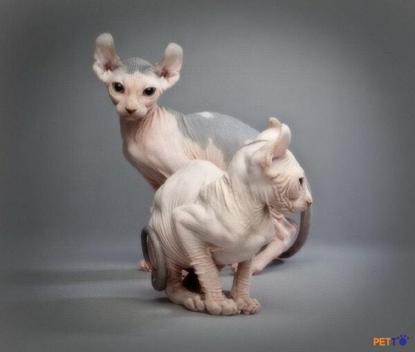 Nguồn gốc mèo Ai Cập
