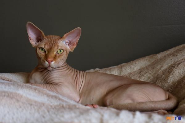 Chế độ ăn uống dành cho mèo Ai Cập