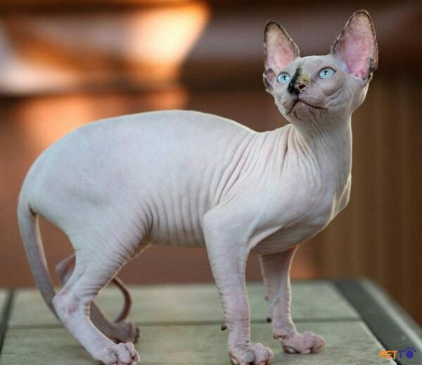 Lưu ý khi chăm sóc, vệ sinh cho mèo Ai Cập