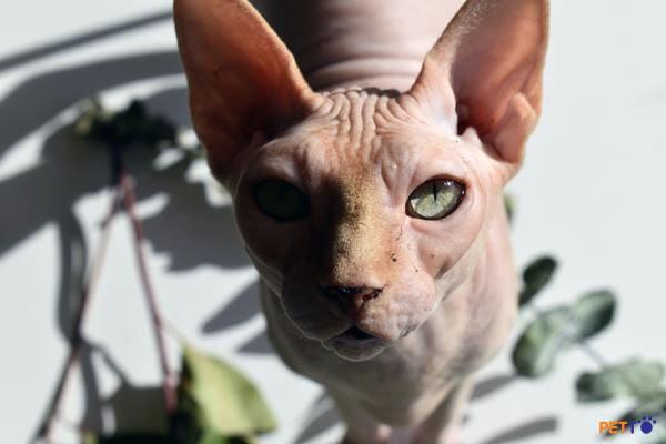 Mèo Sphynx - giống mèo đắt giá nhất thế giới