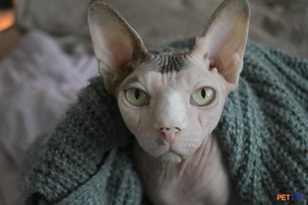 Chăm sóc da cho mèo Ai Cập
