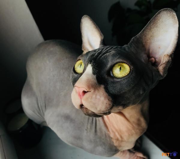 Tính cách mèo Ai Cập vô cùng dễ thương, thân thiện