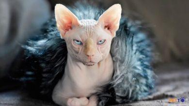 Giống mèo Ai Cập đặc biệt