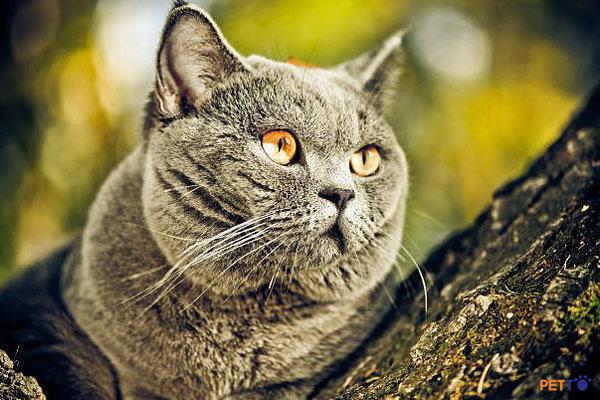 Mèo Anh lông ngắn thuần chủng