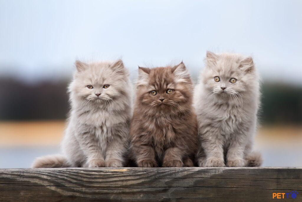 Ba chú mèo